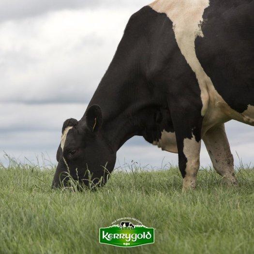 kerrygold cow al freco
